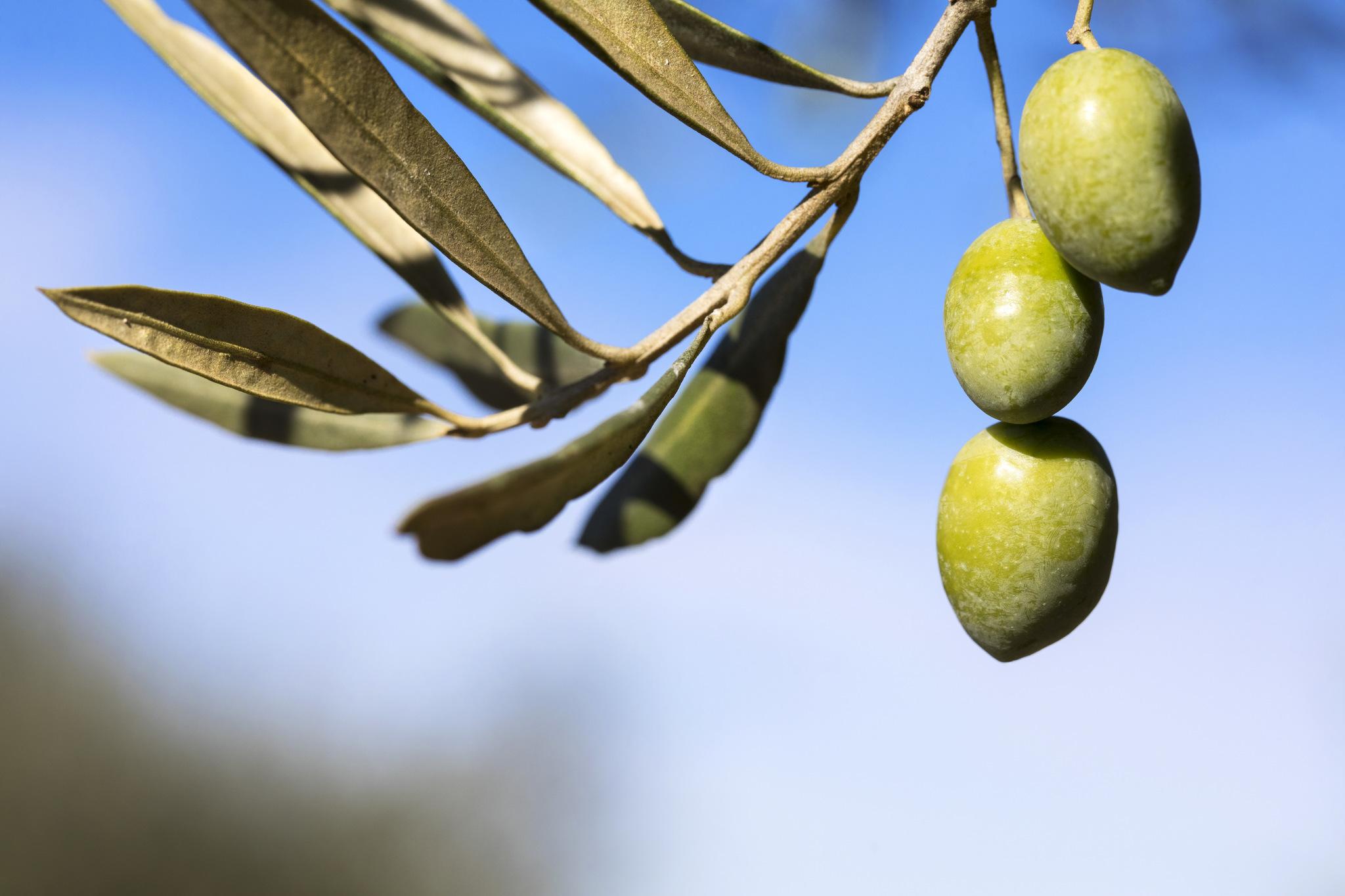 Aceitunas variedad Picual Finca Varona La Vella